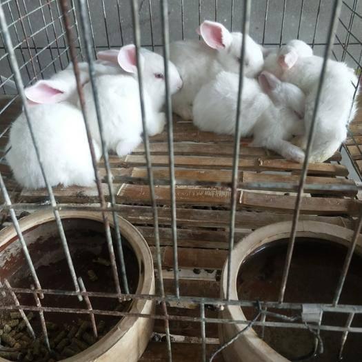 河南省洛陽市新安縣 不發貨, 種兔肉兔公兔大量出售可供應市場有需要的可以聯系