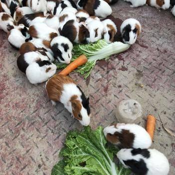 出售彩色荷兰猪全母。提供养殖技术销路搞定。