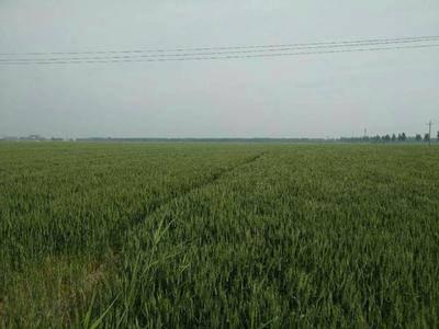 河北省滄州市東光縣水澆地 土地肥沃,交通便利,灌溉放便,水電齊全