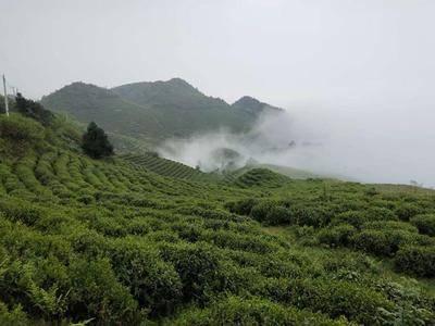 貴州省黔東南苗族侗族自治州雷山縣雷公山紅茶 有機茶葉!讓你喝出健康