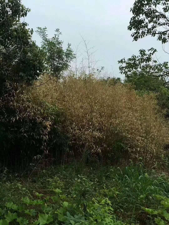 除草剂农药 12个月不长杀竹子顽固杂草大树灌木防火坟地公路铁路工厂道路边