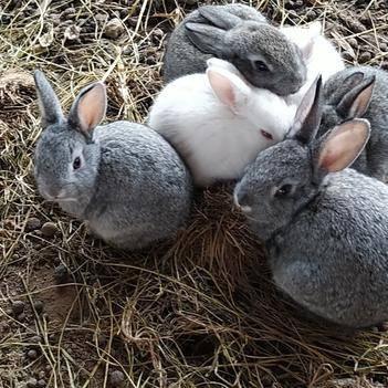 肉兔 出售崽。有青。藍。黑。白四種顏色。適應粗飼喂養。裝箱不低1斤