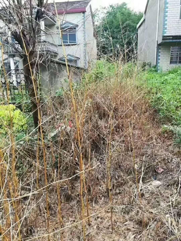 除草劑農藥 12個月不長殺竹子頑固雜草大樹灌木防火墳地公路鐵路工廠道路邊
