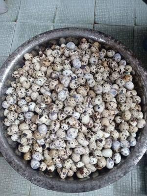 廣東省河源市和平縣土鵪鶉蛋 食用 散裝