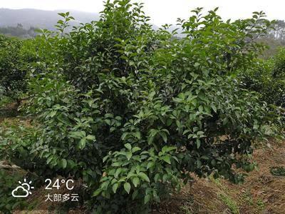 廣西壯族自治區梧州市蒙山縣果園 轉讓 5~10年 25畝