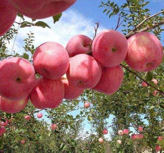 四川省涼山彝族自治州喜德縣 紅富士蘋果 蘋果紅富士 糖心紅富士蘋果
