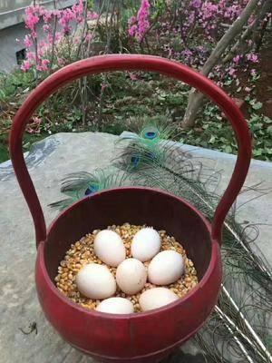 浙江省寧波市余姚市白鴿蛋 食用 箱裝