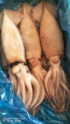 江蘇省連云港市贛榆區凍品魷魚 凍品單凍魚