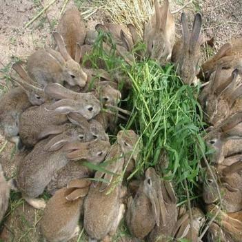 比利時野兔 比利時雜交野兔1斤左右兔苗3-5斤規格都有貨各種品種
