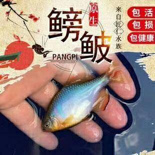 廣東省茂名市電白區 中華斗魚,價格便宜,喜歡的趕緊啦