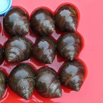 淡水野生田螺石螺