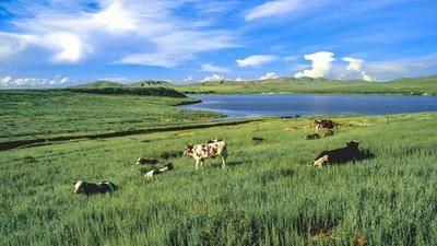 內蒙古自治區呼倫貝爾市牙克石市天然草地 內蒙呼倫貝爾牙克石百萬畝天然牧場出租和牧草出售