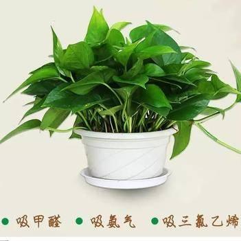 綠蘿盆直徑180盆栽水培吸甲醛辦公室送掛勾(包郵)