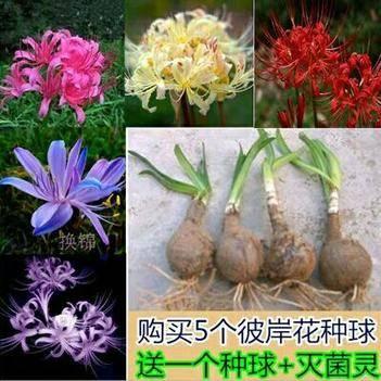 藏红花种球 四季阳台彼岸花种球石蒜盆栽四季开花花种籽冬季室内花卉观花植物