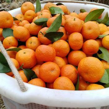 沙糖桔 每年农历十一月到次年清明节大量上市。