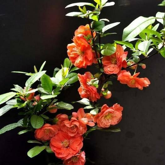 山东省临沂市平邑县 木瓜海棠苗(盆栽)盆景海棠花让您的艺术天分绽放与盆上