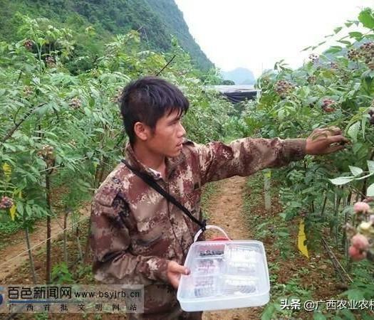 廣西壯族自治區百色市田陽縣 百色五村樹莓
