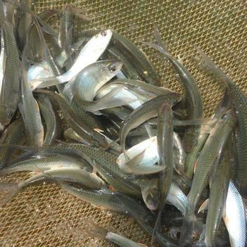 麦鲮鱼 人工养殖 0.05公斤