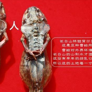 雪蛤油 批發優質長白山林蛙油東北野生雪蛤膏50克產地直銷