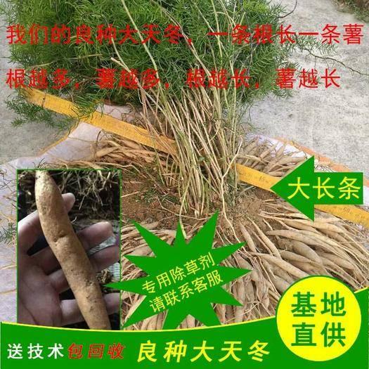 广东省茂名市信宜市 大天冬苗批发药材种植回收良种天冬苗种植基地天冬苗直销