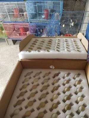 江苏省宿迁市泗洪县桂花雀蛋 新鲜桂花雀种蛋级食用蛋,礼盒包装发货。