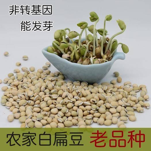 云南省楚雄彝族自治州双柏县 批发云南老品种白扁豆 非转基因 有黑点才正宗
