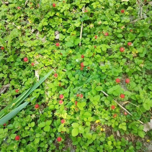 甘肃省酒泉市肃州区蛇莓