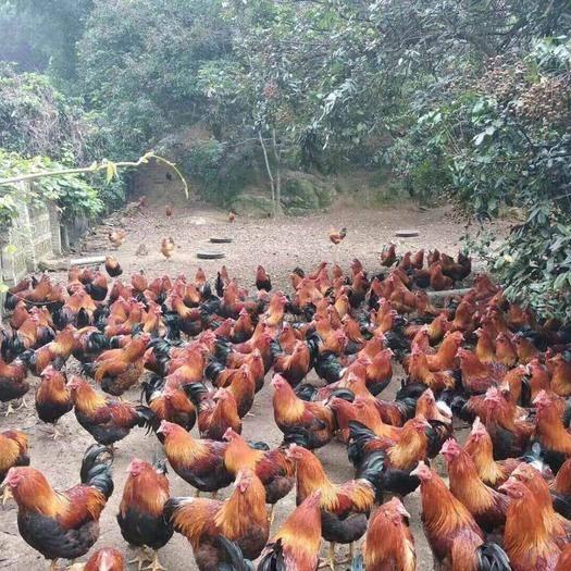 廣西壯族自治區南寧市武鳴區 清遠麻雞苗の出殼已做好馬立克疫苗
