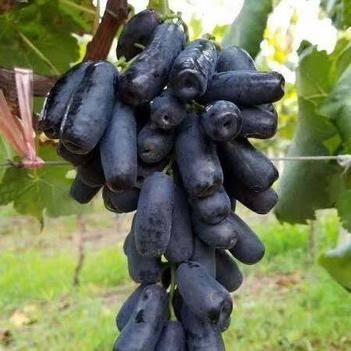 藍寶石葡萄苗 藍寶石葡萄樹苗 盆栽地栽