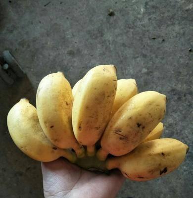 廣西壯族自治區南寧市西鄉塘區 自家栽種小米蕉小果23.8元9斤包郵