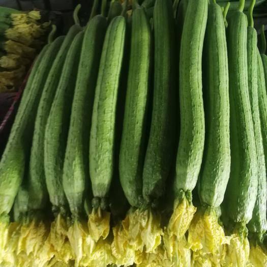 山東省濰坊市壽光市 山東省壽光市絲瓜源頭產地大量供應優質中綠絲瓜