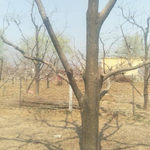 河北省保定市满城区柿子树接穗