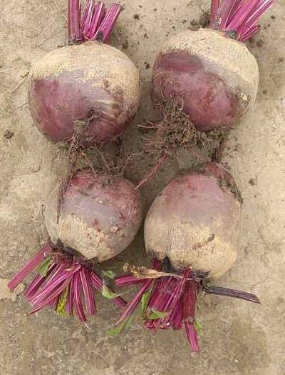 江蘇省鹽城市阜寧縣 新鮮紅甜菜,單顆1斤左右,大小圓潤!