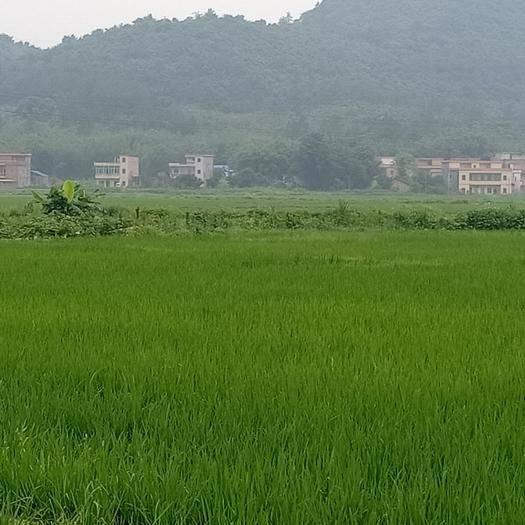 廣東省清遠市陽山縣 優質絲苗米,濕谷供應,價格從優