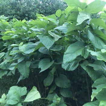 養蠶桑樹苗