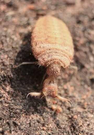廣西壯族自治區崇左市龍州縣螞蟻 有人收購蟻獅嗎