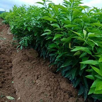 橘红种苗 品质保证,品种很好,价格优惠,橘子苗都在80-100公分