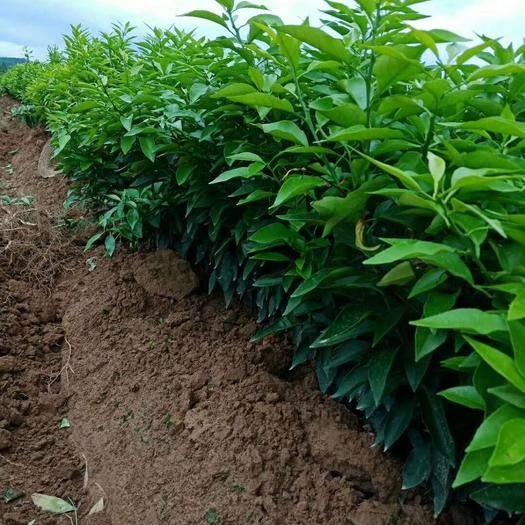 云南省保山市隆阳区橘红种苗 品质保证,品种很好,价格优惠,橘子苗都在80-100公分