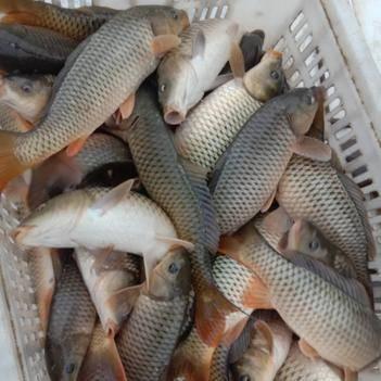 水库鲤鱼鱼