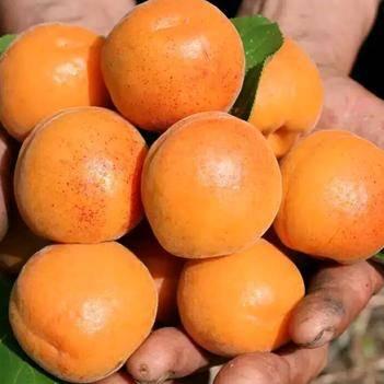 大黃杏5斤18元包郵,支持一件代發