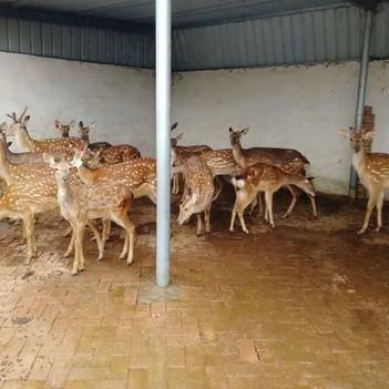 梅花鹿 養殖場自養自銷梅花鹿出售 全國批發零售送貨上門