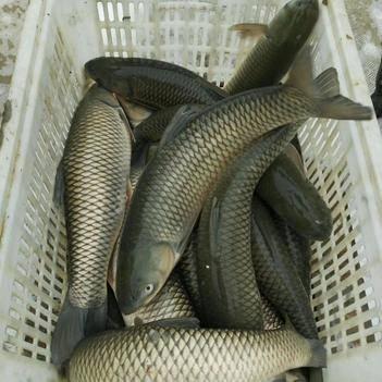 池塘草鱼 1-1.5公斤 人工养殖