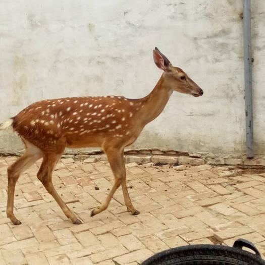 山東省濟寧市嘉祥縣 梅花鹿種鹿 帶崽懷孕母鹿 繁殖能力超強公鹿,全國送貨上門
