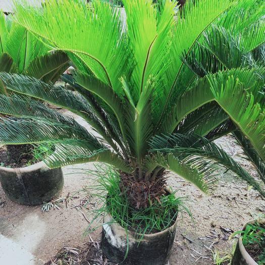 福建省漳州市漳浦县 铁树,苏铁,80~150高,大量现货供应