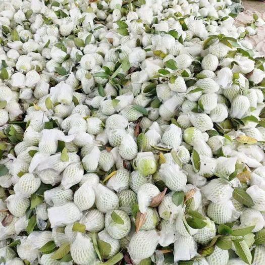 广西壮族自治区玉林市北流市 白心番石榴产地代办 最平价批发,每日供应量5万斤以上