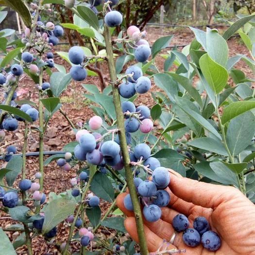 云南省玉溪市澄江县 云南澄江高原山地自产现摘现发新鲜蓝莓,可顺丰包邮,量大从优