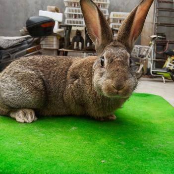 雜交野兔 種兔
