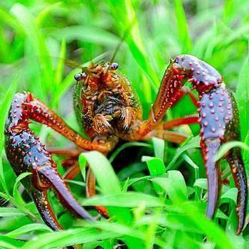 紅殼小龍蝦 2-4錢 人工養殖