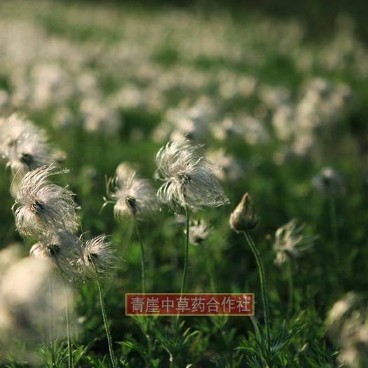 吉林省通化市梅河口市白头翁种苗 白头翁种子150元每斤