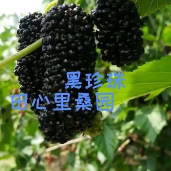 黑珍珠桑樹苗 黑珍珠果桑苗